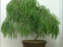 WEEPING WILLOW BONSAI COMPLETE OWNER'S GUIDE